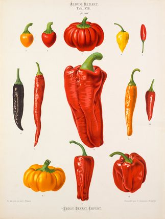 A Chromolithograph plate of pepper varieties taken from the Album Benary. The Album contains 28 colour plates in total of vegetable varieties by Ernst Benary which are named in the accompanying page in German, English, French and Russian. Creator: Benary, Ernst (1819-1893). Date: 1876