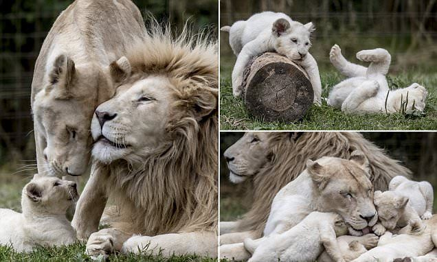 Adorable photos show ten-week-old cubs playing in their enclosure at a private zoo in Dvorec in the Czech Republic under the watchful eye of their parents. The animals were born in May this year.