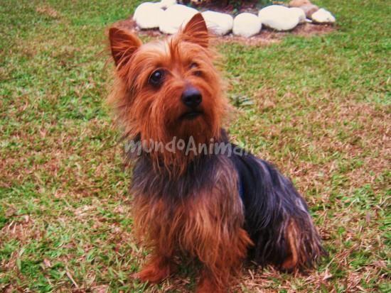 Aurelio - Australian Terrier - mundoAnimalia.com