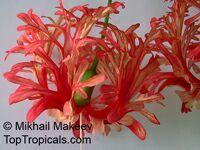 Hibiscus schizopetalus, Coral Hibiscus, Skeleton Hibiscus, Chinese Lantern, Japanese Lantern, Fringed Hibiscus  Click to see full-size image