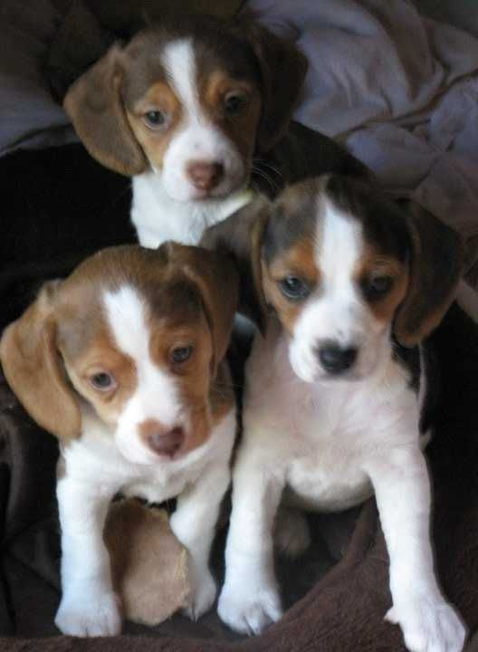 old english pocket beagles