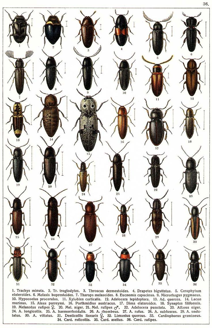 """G.G. Yakobson (1905-1915) - """"Beetles of Russia"""": table 36"""