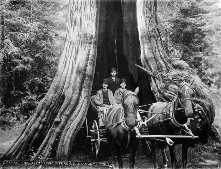 The Great Cedar Tree Photography Stanley Park Cedar
