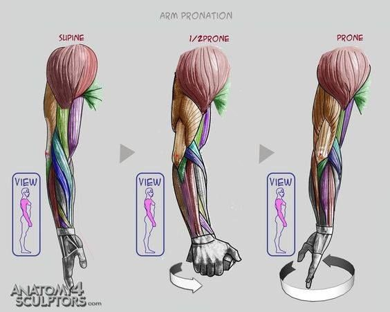 16 best forearms!!!!!!!!! images on pinterest, Muscles