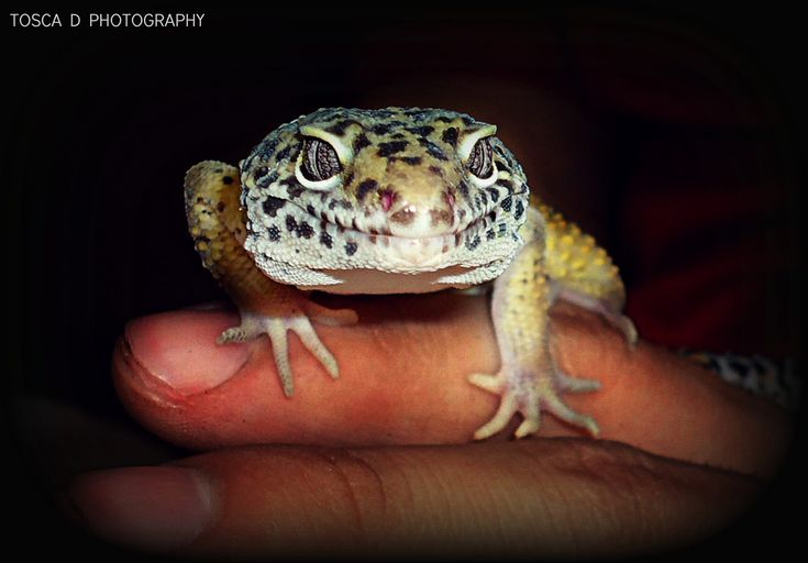 Leopard Gecko by Tosca D'Andrea on 500px