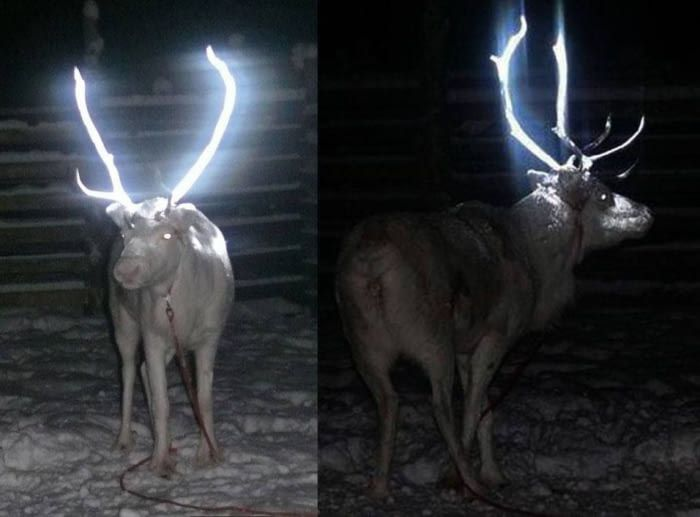 Reindeer antlers are sprayed with a reflector to reduce traffic accidents in Finland. Genius.