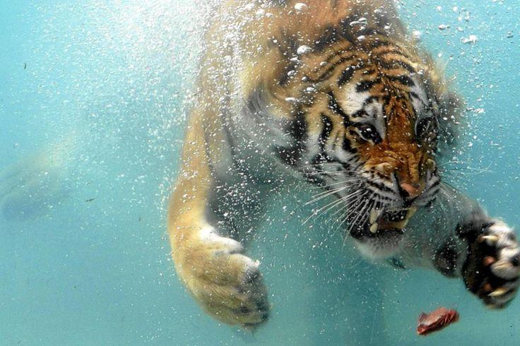 ... Tiger Gambas #black Tiger Garnelen #bing