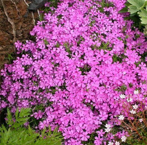 Vårfloks Phlox subulata `Lilla Tromsø` : Egner seg i fjellhager og i steingjerder. Lilla blomster. Blomstringsperiode: mai/juni Vokseplass: sol og veldrenert jord. Høyde: 10 cm