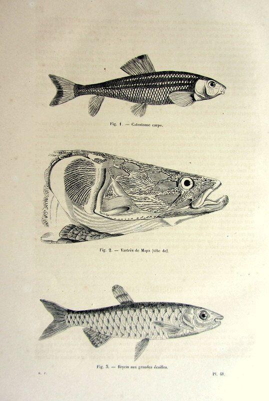 Carp fish print, 1860 Amazing antique FRESHWATER FISH print, rare fishes vintage engraving, original sea life illustration. by LyraNebulaPrintsShop on Etsy https://www.etsy.com/listing/464647667/carp-fish-print-1860-amazing-antique