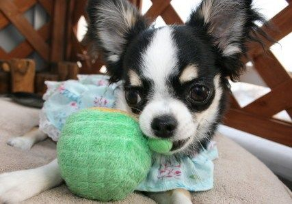 Chihuahua Loves Melon. #awww