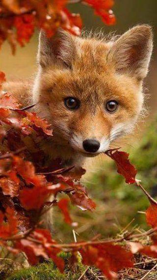 Zorrito entre las hojas rojas con pelo marrón #monisimo #beautiful