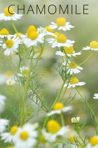 Healing Plants You Can Grow at Home: Chamomile is a nervine—a calming herb that restores stability to the nervous system