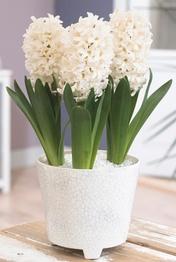 Hyacint White Pearl