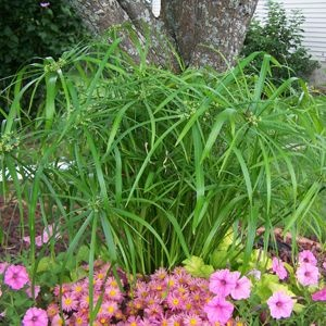 156 Best Images About Gardening Ornamental Grasses On