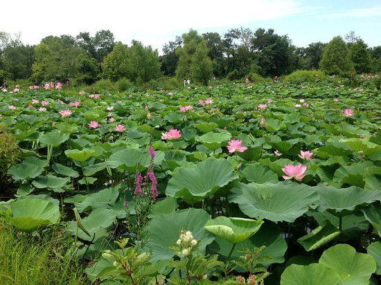 The summer bloom at Kenilworth aquatic gardens