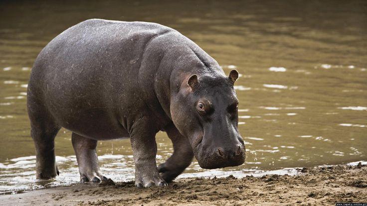 Zwierzęta Hipopotam  Zwierzęta Tapeta