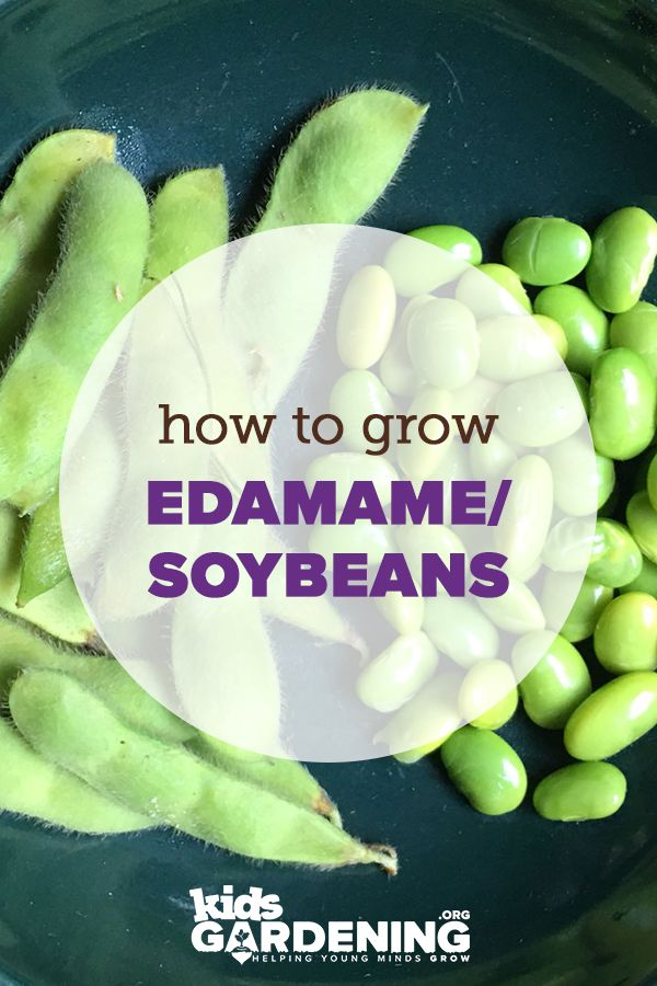 Growing Guides Edamame Soybean Growing Guide With Images