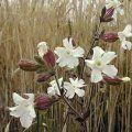 Weiße Lichtnelke, Weißes Leimkraut, Weiße Waldnelke, Weiße Nachtnelke (Silene latifolia subsp. alba)  mj, 5-9, b/h=0,5-1m, 2-häusig, trockenheitsresistent, Steingarten - Wiese - Gehölzrand  Ähnlich: Silene vulgaris, syn. Silene cucubalus, S. inflata (Taubenkropfleimkraut, Aufgeblasenes Leimkraut) - Laub blaugrün  http://www.gartendatenbank.de/wiki/silene-latifolia