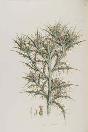 Ferdinand Βauer (1760 – 1826) - Flora Graeca
