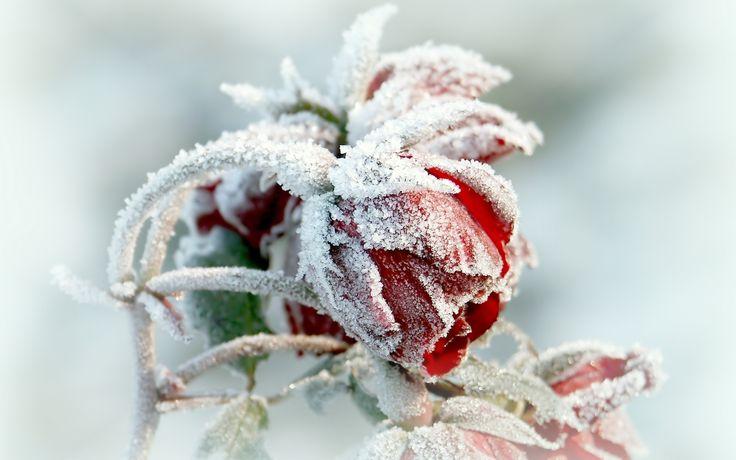 Frozen Rose Red Tapet Wallpaper [2880 x 1800]