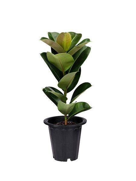 Ficus Elastica / Kauçuk   Tel: +90 226 8140041  WhatsApp:0546 833 9009  E-POSTA bilgi@fidanistanbul.com