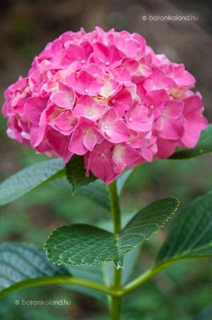 Kerti Hortenzia - Hydrangea macrophylla - Félárnyékos helyen érzi jól magát! A földje soha ne száradjon ki! Dugványozással szaporítható. Félfás állapotban jól gyökerezik. Június-július. A kb. ceruza vastagságú, 10-15 cm hajtásvégek alkalmasak szaporításra.
