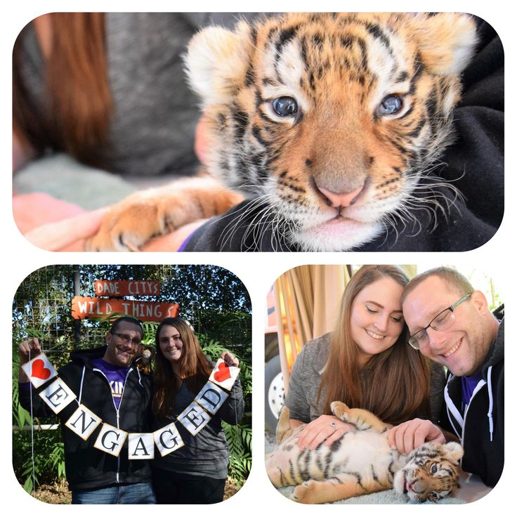 Congratulations to Anthony & Paige on your Engagement. #engagementring #engaged #tiger #love #wedding @dcwildthings