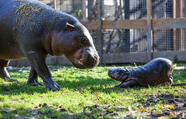 And this baby hippo having play time with his mom. | The 37 Cutest Baby Animal Photos Of 2014
