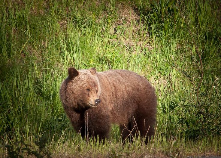 Grizzly Bear spotted in Whistler BC on a Whistler Photo Safari Bear viewing tour 2016