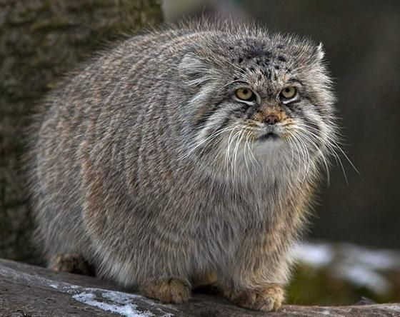 Manul, also called Pallus's cat from Central Asia.  About the size of a domestic cat.  Classified as near threatened because of loss of habitat.
