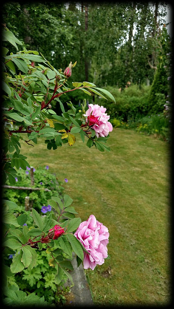Therese Bugnet / My garden in Finland