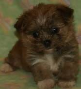 Gus is the best little dog in the world. He is a shorkie, yorkie and shih-tzu mix