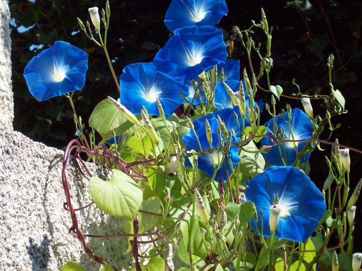 Ipomea glorious morning glory lawn garden ideas for Nautilus garden designs