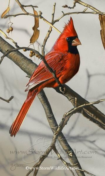 Northern Red Cardinal - Original Paintings by Scot Storm