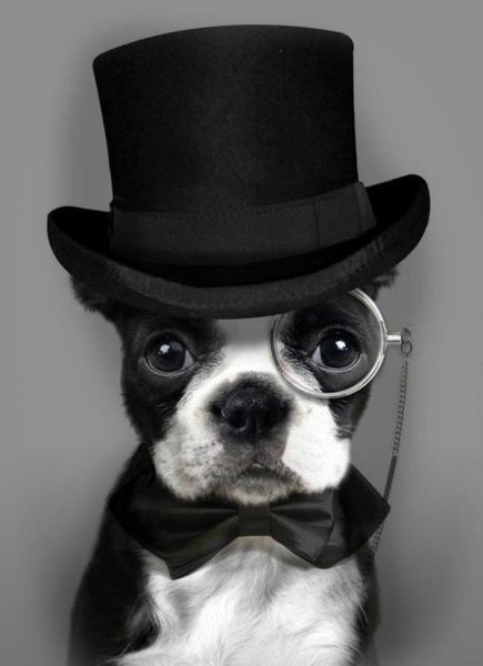 "The Boston Terrier is Nicknamed the ""American Gentleman""<< also have classy tuxedos, ready for a party 24/7!"