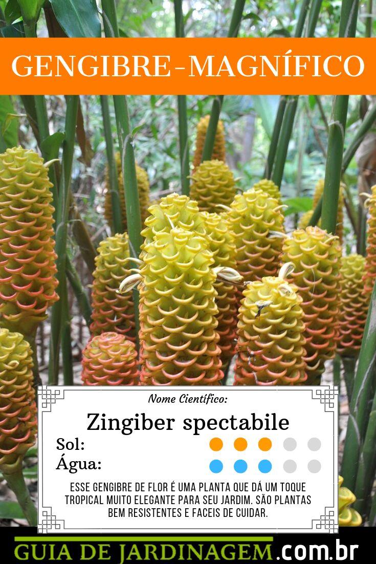 Magnífico gengibre – Zingiber spectabile   – Flores e plantas maravilhosas