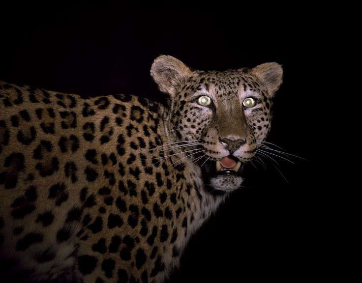 Panthera pardus saxicolor Pocock, Persian leopard, adult female, born Bristol, 25 October 1980, died 19 September 2000