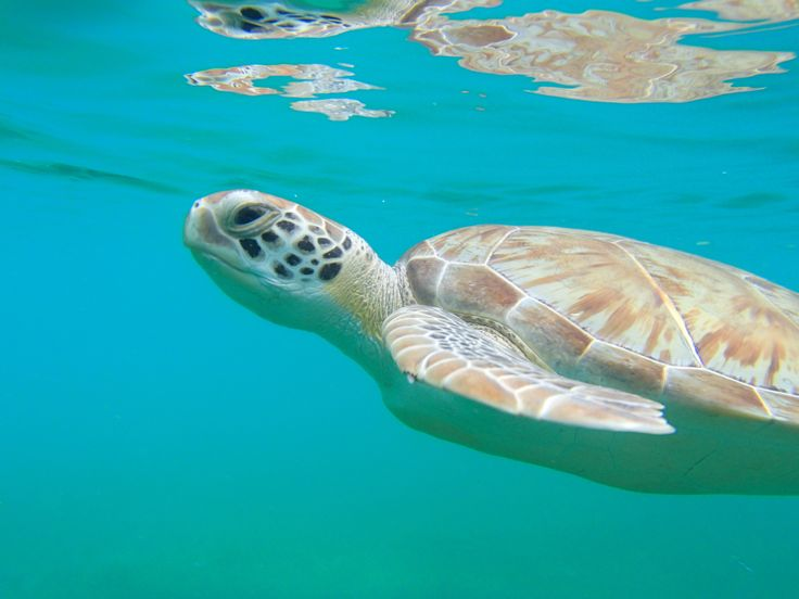 Swimming with the turtles. Maho Beach. St. John, USVI, stay with us caneelbay.com and explore the island!