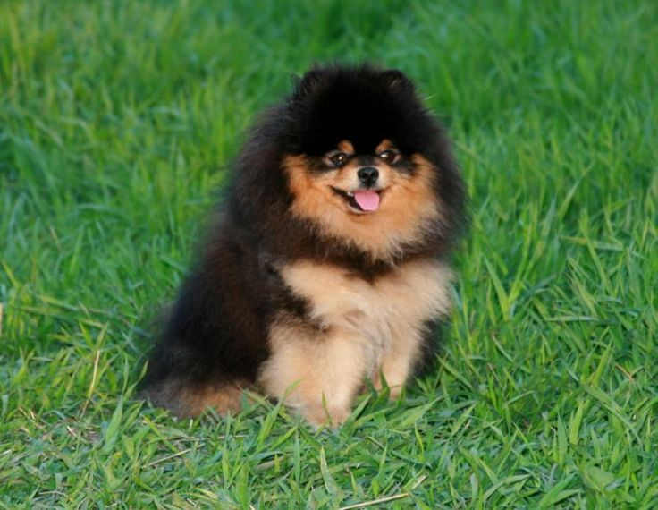 Brown pomeranian - photo#23