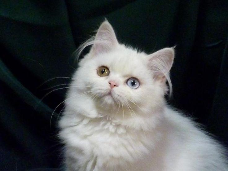 Connu Les 25 meilleures idées de la catégorie les éleveurs de chats  ON59