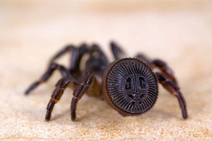 Cyclocosmia - Trap Door Spider | Animals - Along Came a ...