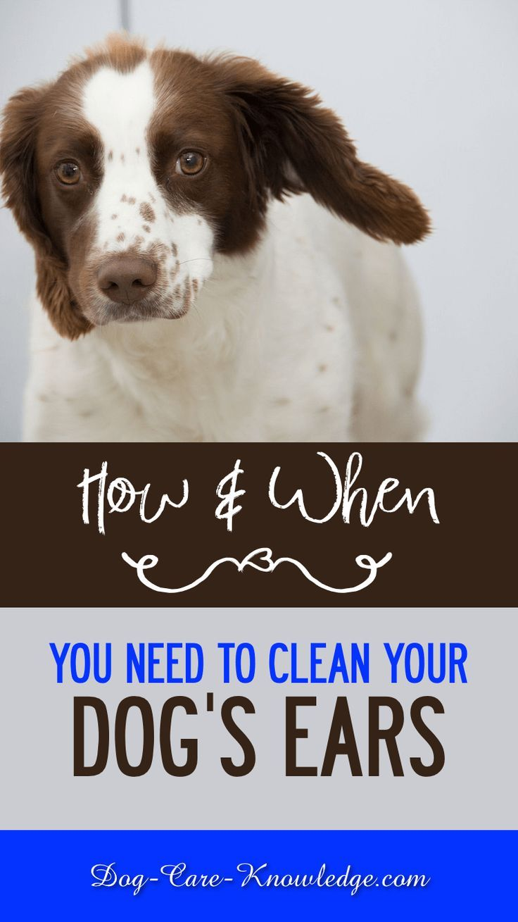 Cleaning Dogs Ears How And When You Need To Do It Cleaning Dogs