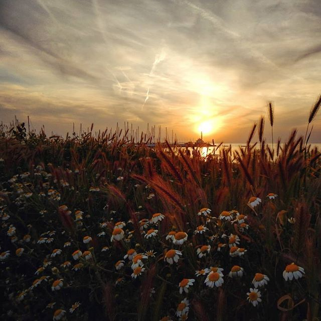 Every flower blooms at a different pace #skg #thessaloniki #sea #daisies #flowers #sunset #ig_daily #ig_greece #training