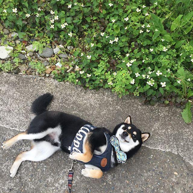 おはようございます☀️ 早寝早起き(๑•̀ㅂ•́)و✧した今日です ニオ朝パト〜✨ 『異常なーーし』 家に到着して、庭でごろーん さぁニオさん!ベットでもう一眠りしようではないかॱ(。 ー`ωー´) キラン☆  #love #dog #dogs #instadog #dogstagram #petstagram #ilovemydog #doglover #犬 #shibainu #柴犬 #shiba #犬バカ部 # #shibastagram #shibalove #いぬら部 #しばいぬ #shibamania #instashiba #일상 #pet #happy #cute #instagram #like4like #愛犬#チーム唐草#ごろーん #朝んぽ