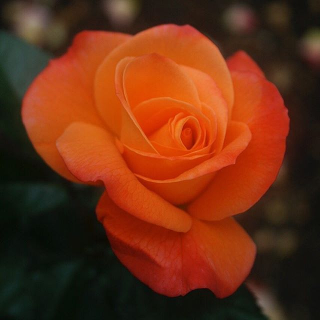 No filter orange rose # #rosa #rose  #ばら #花 #はな  #alessandrazecchini