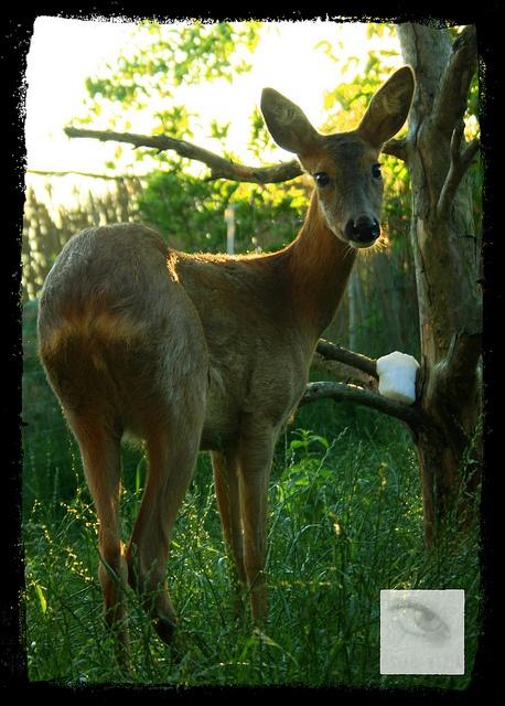 deer reh