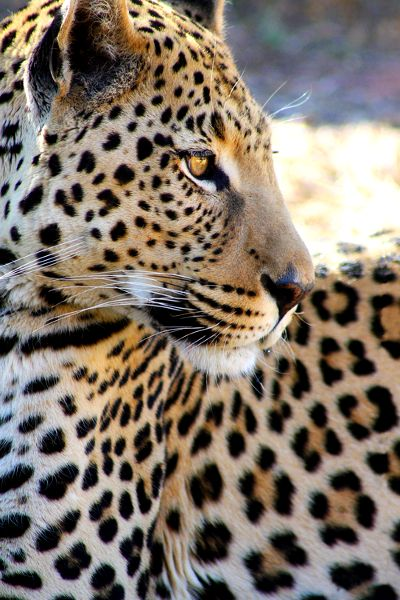 Leopard. Stunning photo.