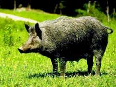 Top 10 Wild Boar Hunting Tips - http://www.isportsandfitness.com/top-10-wild-boar-hunting-tips/