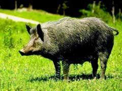 Top 10 Wild Boar Hunting Tips - http://www.isportsandfitness.com/top-10-wild-boar-hunting-tips/
