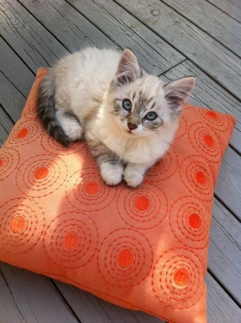 Petit chaton sur un coussin